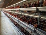 洛阳蛋鸡笼丨优质鸡笼丨镀锌笼具银星鸡笼厂