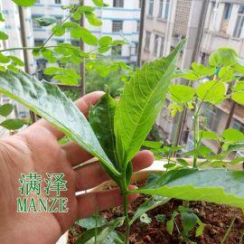 雲南滿澤非洲猴面包樹果實介紹圖片