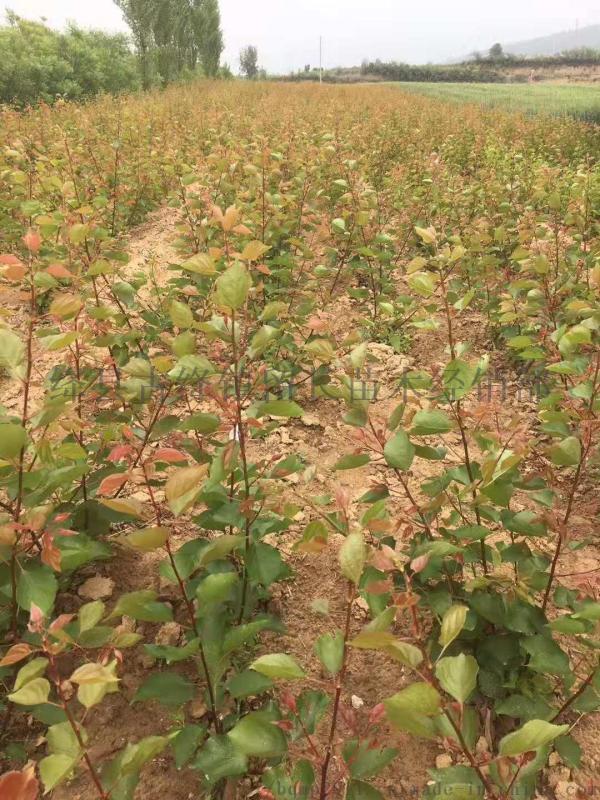 杏树苗**1年成品杏树苗多少钱