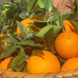 大量销售 四川纽荷 橙子