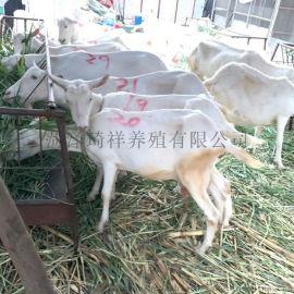 薩能奶山羊 奶山羊苗 奶山羊價格 大量奶山羊養殖場