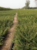 好景园林常年出售各种规格平枝荀子树苗