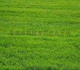 供应草皮 东莞绿化养护 马尼拉草 台湾草 玉龙草