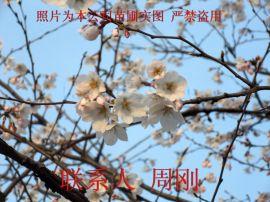 苏州樱花树种植基地 染井吉野樱 日本早樱 日本晚樱