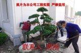 造型羅漢松種植基地 羅漢松造型培育 蘇州造型樹苗圃