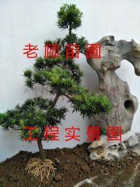 苏州景观绿化公司,园林景观梅花树桩