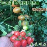 千禧圣女果 贝贝西红柿樱桃番茄苗 寿光蔬菜种苗