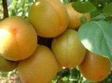 苗圃銷售直徑1釐米兩年生嫁接杏樹苗