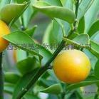 岩昊柚皮苷 柚皮素 枳实黄酮