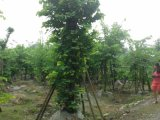 成都羊蹄甲基地羊蹄甲直销低价格树型好批量供应