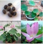 绿化工程盆栽荷花 大型盆栽荷花种植基地