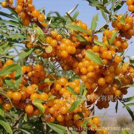 **植物精油 日用化妆品原料 沙棘油 沙棘果油