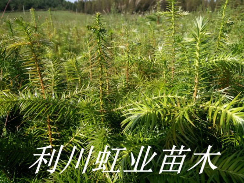 杉木树苗/杉树苗/20-30公分杉木树苗