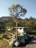 小葉黃楊/廷院綠化高山小葉黃楊