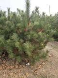直銷2米佔地油松 2米5佔地油松產地