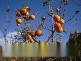 1米高軟棗苗 =嫁接柿子苗佔木苗 軟棗苗批發價格