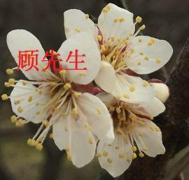 苏州光福梅花、红绿梅、梅花树、梅花盆景、古桩造型树、苏州苗圃、别墅果树