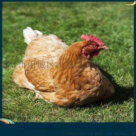 罗曼灰青年鸡**罗曼灰青年鸡出厂价