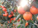 世纪红柑橘成熟期12月初 世纪红苗抗寒抗病比脐橙强