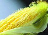 玉米須提取物Corn silk  Extract