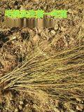 1年毛桃实生苗价格 0.5公分毛桃苗价格 1公分毛桃苗价格