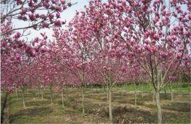 露地种植红玉兰苗木 园林景观系列红玉兰小苗供应商