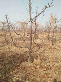 山西6公分樱桃树 8公分占地樱桃树厂家
