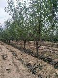 12公分梨树产地===15公分梨树多少钱一棵?