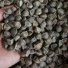 印度辣木籽与非洲辣木籽的区别哪个好