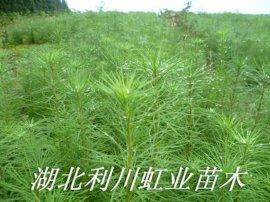 湖北利川落葉鬆苗30公分以上落葉鬆苗