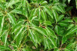 植物精油 羅文莎葉油 Ravansara Oil