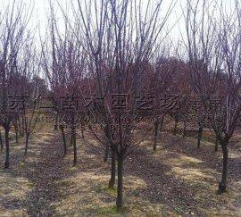 绿化行道树4公分红叶李苗木价格
