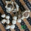 雲南滿澤水洗印度辣木籽種子供應