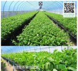 百香果苗木繁殖批发价格-桂创百香果种植基地
