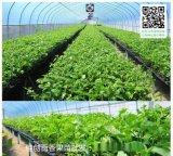 百香果苗木繁殖批發價格-桂創百香果種植基地
