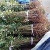 香椿苗批发 山东香椿苗价格 当年采摘香椿苗