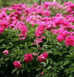 芍药甙植物提取物