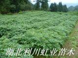 黃柏樹苗/一年生30公分以上黃柏樹苗