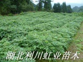 黄柏树苗/一年生30公分以上黄柏树苗