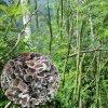 云南满泽保山辣木籽种植基地 种植食用 育苗辣木苗