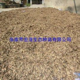 国标二级质量的马褂木种子