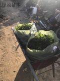 毛杜鵑高度20釐米 杜鵑花錦繡杜鵑批發價