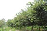 櫸樹價格  櫸樹圖片  15公分櫸樹、鹽城櫸樹