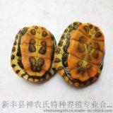巴西龜 觀賞烏龜 巴西龜養殖場批發各種規格巴西龜