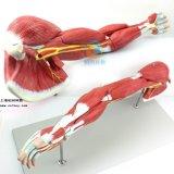 上肢层次解剖模型,上肢层次肌肉解剖模型,上肢肌肉解剖模型