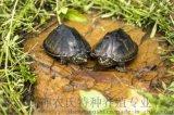 另类宠物活体 麝香龟 宠物乌龟 广东龟苗批发