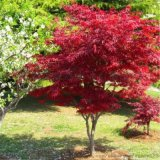 红枫树苗四季中国红庭院