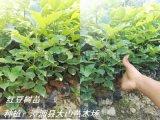 红豆树小苗,鄂西红豆苗