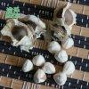 如何区别非洲辣木籽和印度辣木籽/辣木子