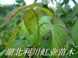 和平树珙柚树苗(鸽子树苗)珙桐种子